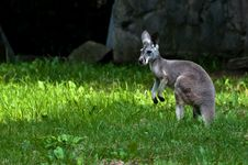 Free Single Grey Kangaroo Standing Still Royalty Free Stock Images - 16417419