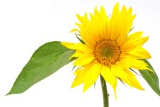 Sunflower With Green Leaves Stock Photography