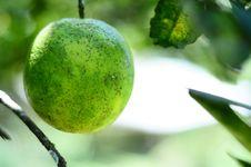 Free Orange On Tree Royalty Free Stock Photography - 16418087