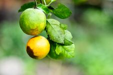 Free Two Oranges On Tree Royalty Free Stock Images - 16418099