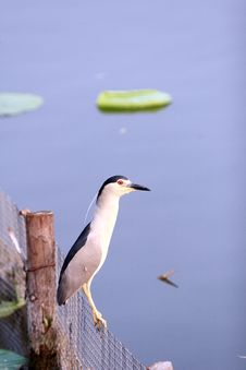 Free Black-crowned Night Heron Royalty Free Stock Photos - 16418548