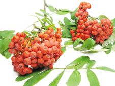Free Mountain Ash Berries On Branch Royalty Free Stock Image - 16419436