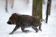 Free Wild Pig Stock Photos - 16419443