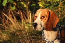 Free Beagle In The Forest Royalty Free Stock Photography - 16419587