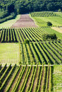 Free Rows Of Grapes Royalty Free Stock Image - 16424386