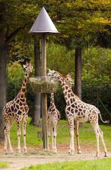Free Giraffes Royalty Free Stock Images - 16420259