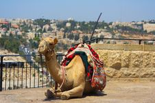Free Camel Stock Photography - 16420852