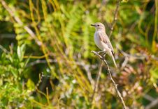 Free The Lead-colored Flycatcher Stock Images - 16421314
