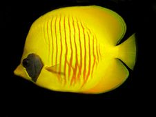 Free Masked Butterflyfish Royalty Free Stock Image - 16421816