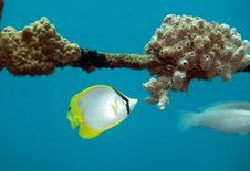 Free Spotfin Butterflyfish Royalty Free Stock Image - 16422656