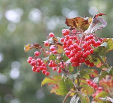 Free Autumn Viburnum Royalty Free Stock Image - 16422766