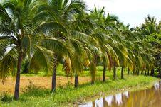 Free Coconut Tree Royalty Free Stock Photos - 16423018