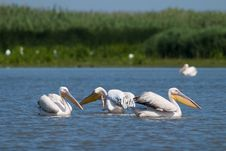 Free White Pelicans Stock Image - 16423351