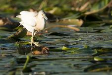 Free Silky Or Squacco Heron Stock Images - 16423364