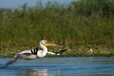 Free White Pelican Taking Off Royalty Free Stock Images - 16423419