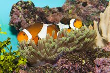 Free Clownfish (Amphirion Ocellaris) Pair In Anemone Stock Images - 16423654