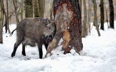 Free Wild Pig Royalty Free Stock Image - 16424956