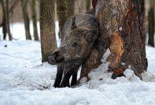 Free Wild Pig Royalty Free Stock Photo - 16425035