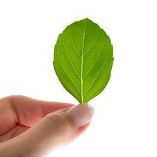 Free Woman S Hand Holding Basilia Leaf Royalty Free Stock Photography - 16425487