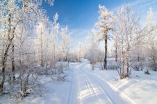 Free Winter Forest Royalty Free Stock Photography - 16426107