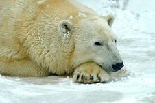 Free Polar Bear Royalty Free Stock Photography - 16427027