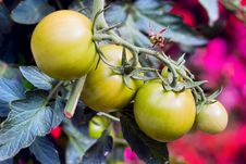 Free A Green Tomatos In A Garden Stock Images - 16427324