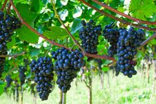 Free Blue Grapes Royalty Free Stock Photography - 16428717