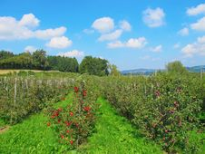 Free Apple Garden Stock Photography - 16429012