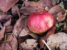 Free Red Apple On A Dry Leafs Royalty Free Stock Image - 16429146