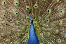 Free Peacock Stock Photos - 16429353