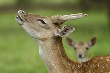 Free Beautiful Fallow Deer Royalty Free Stock Photos - 16429508