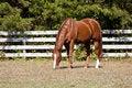Free Chestut Stallion Royalty Free Stock Photo - 16431705