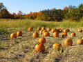 Free Pumpkin Patch Royalty Free Stock Image - 16431896