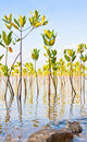 Free Young Mangroves Forest Royalty Free Stock Image - 16439206
