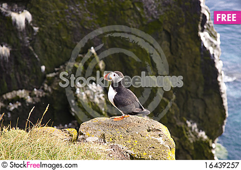 Latrabjarg - Iceland. Puffin on the rock Stock Photo