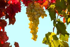 Free Bunch Of Grapes Royalty Free Stock Images - 16430459