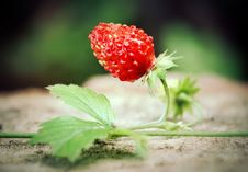 Free Wild Strawberry Royalty Free Stock Images - 16431619