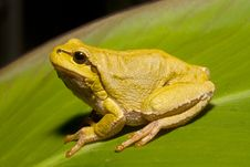 Free Green Tree Frog (Hyla Arborea) Royalty Free Stock Images - 16431939