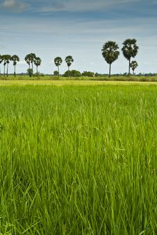 Free Rice Field Stock Photography - 16433402