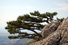 Free Pine Tree In Mountains Royalty Free Stock Photo - 16433545