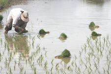 Transplant Rice Seedlings 1 Royalty Free Stock Photo
