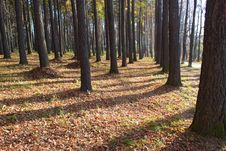 Free Autumn Forest Royalty Free Stock Images - 16434199