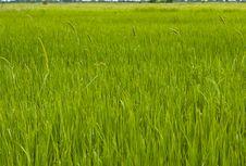 Free Rice Field Stock Photos - 16434643