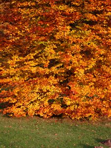Autumnal Beech Tree Stock Photography