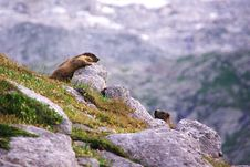 Free Two Marmots Playing In The Rocks Royalty Free Stock Photography - 16436567