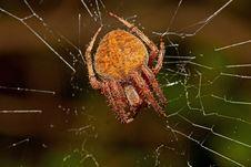 Free Garden Orb Spider Stock Image - 16436911