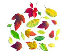 Free Yellow Autumn Leaves On A White Background(11).jpg Stock Photography - 16437352