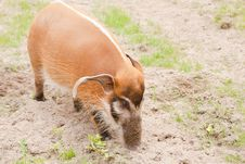 Free Red River Hog Royalty Free Stock Photo - 16438275