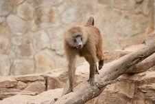 Free Monkey Royalty Free Stock Images - 16438609