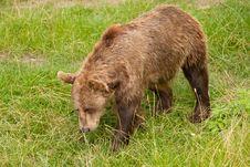 Free Bear Royalty Free Stock Photo - 16438875